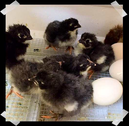 Jersey Giant Chicks Hatching