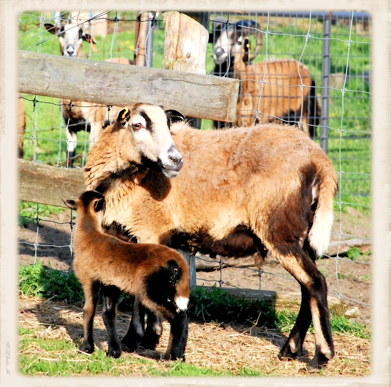 Ewe and lamb American Blackbelly Sheep herd