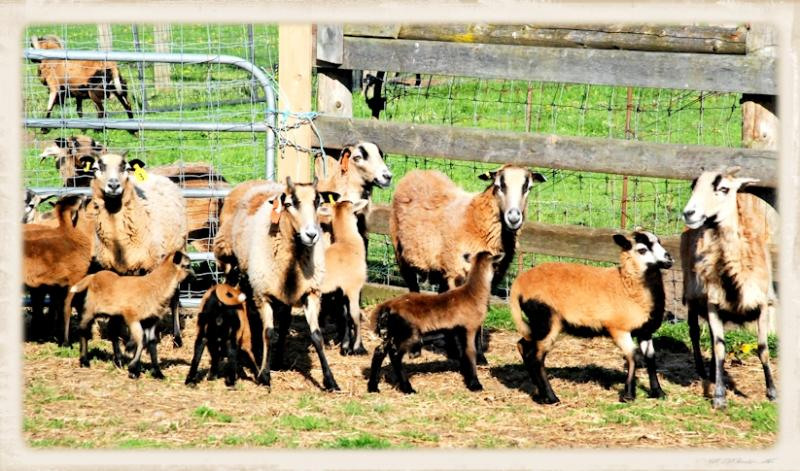 The American Blackbelly Sheep herd ewes and lambs