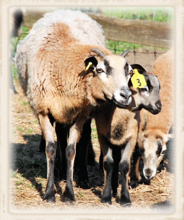 West Wind Ranch Creations - The American Blackbelly Sheep