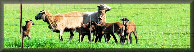 Black Belly Ewes & Babies 2017