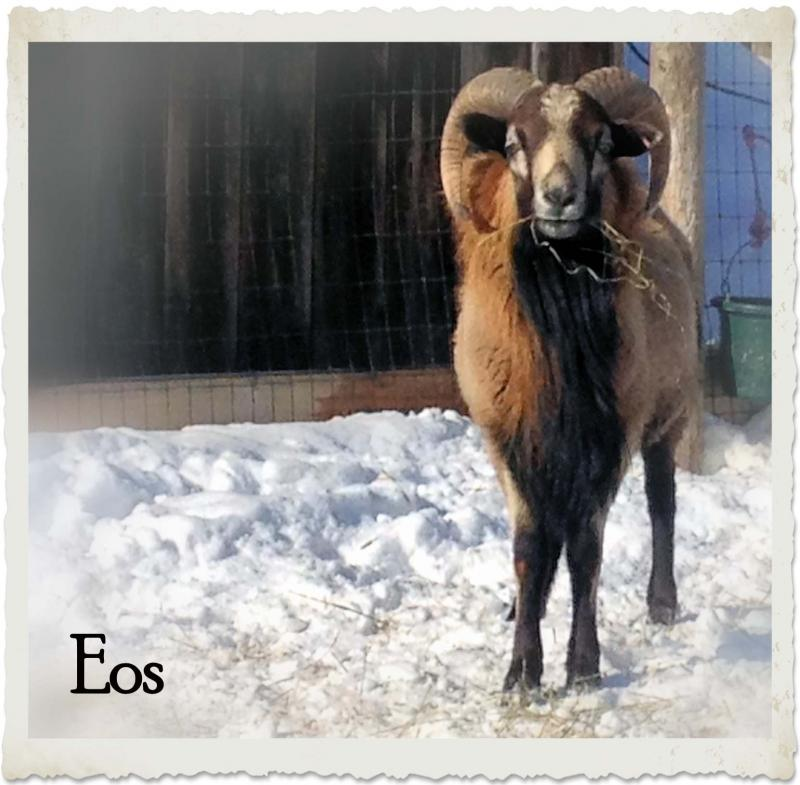 Eos the American Blackbelly Ram