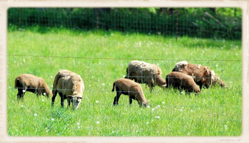 Sheep grazing on green pastures