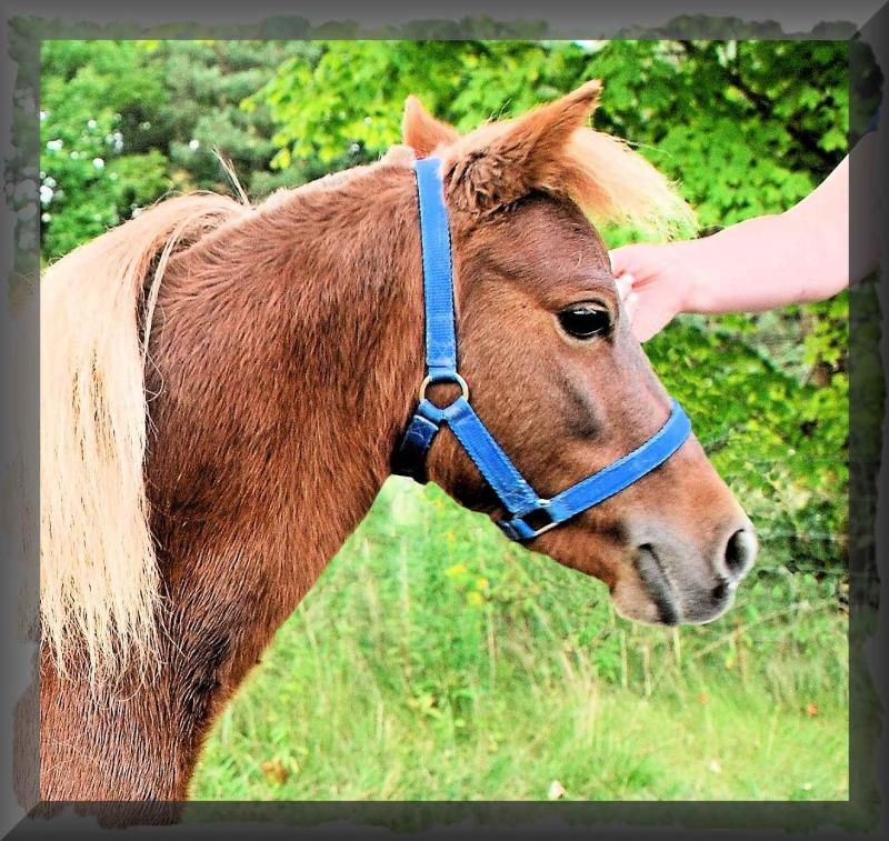 Joy is a Foundation Arenosa Shetland Pony mare