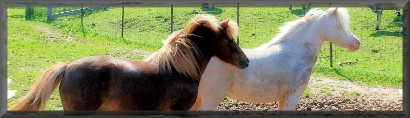 Miniature Horses mares of WWRC