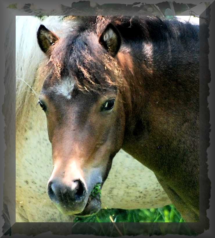 Lacey is an Appaloosa Miniature Horse mare