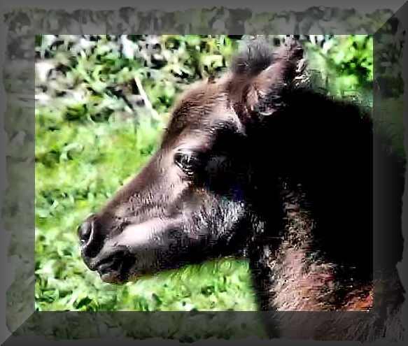 Secret is Willow's 2017 Miniature Horse filly