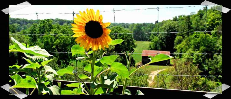 Sunflower looking over the pastures and barn