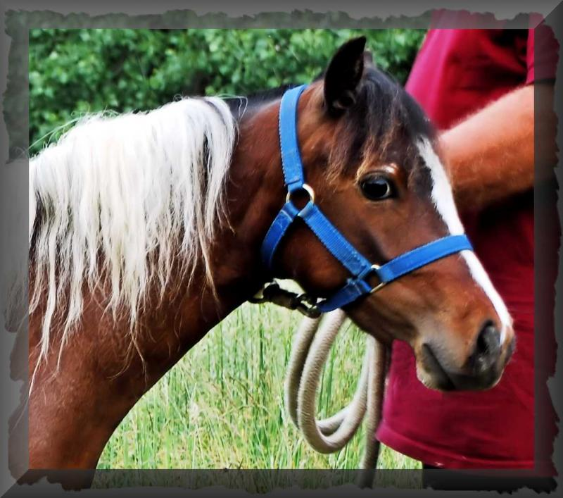 Treasure is a Foundation Certified Shetland Pony