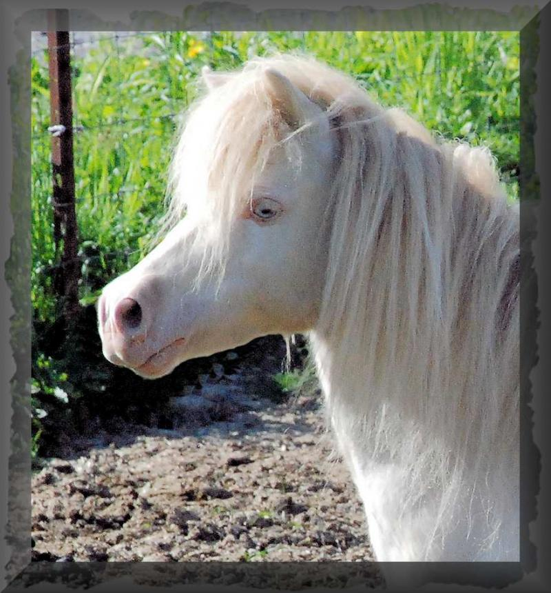 Miniature Horse mare for sale named Willow